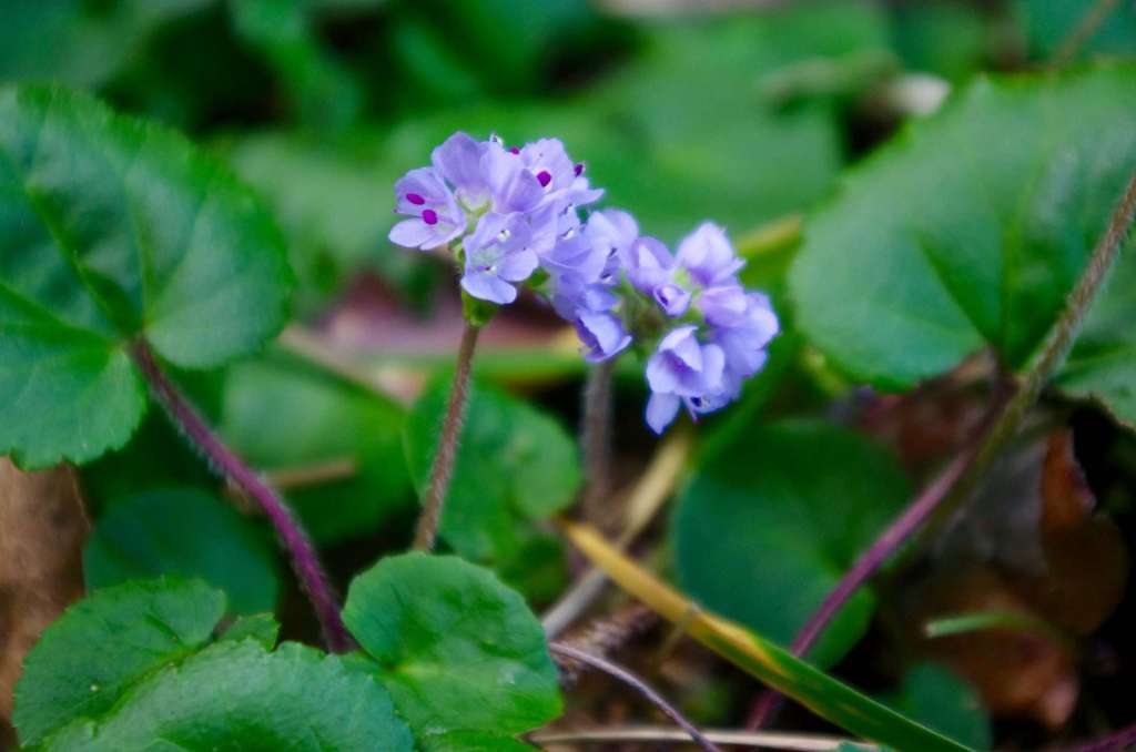 Small purple flowers on the forest floor.