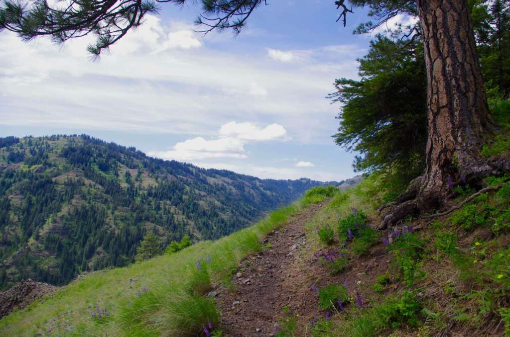 A pine tree shading a hiking trail which drops off steeply into a valley.