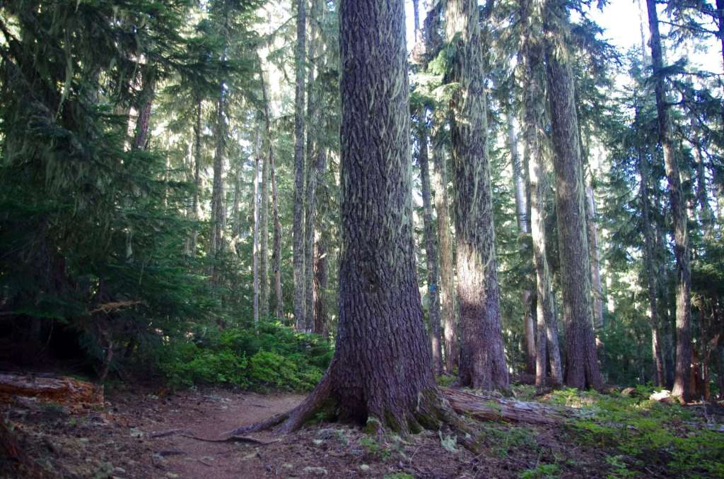 Tall trees shading a hiking trail.