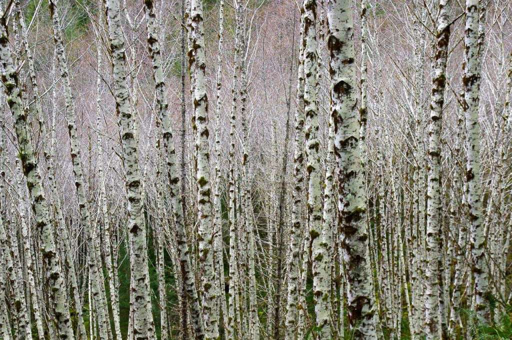 Numerous white-barked alder trees grow closely together.