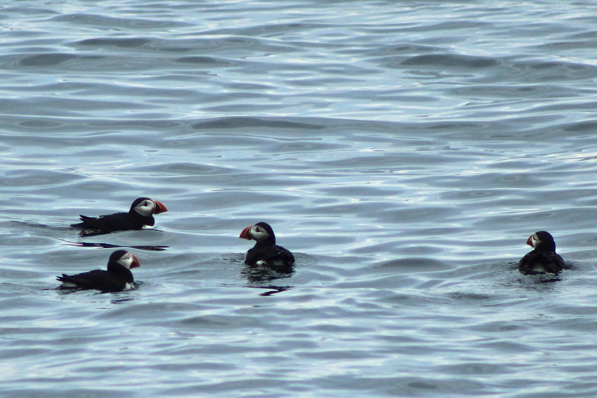 Where to See Puffins in Maine