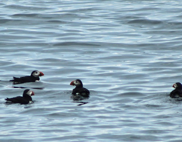 Maine Puffin Watch