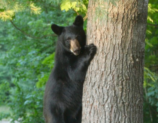 Backyard Black Bears