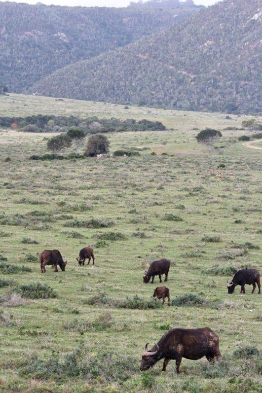 kariega wildlife