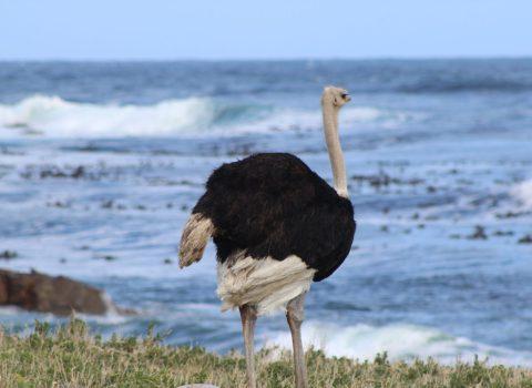 Cape of Good Hope – Wildlife
