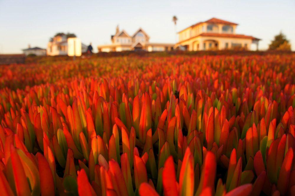 Ice plants and Santa Cruz homes.