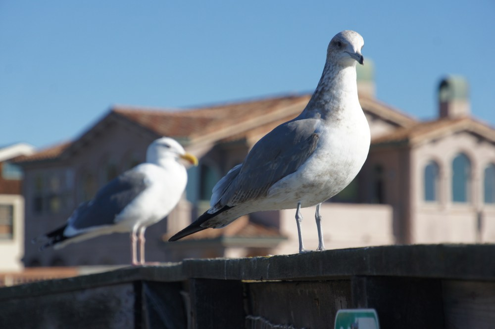 A pair of seagulls hanging out.