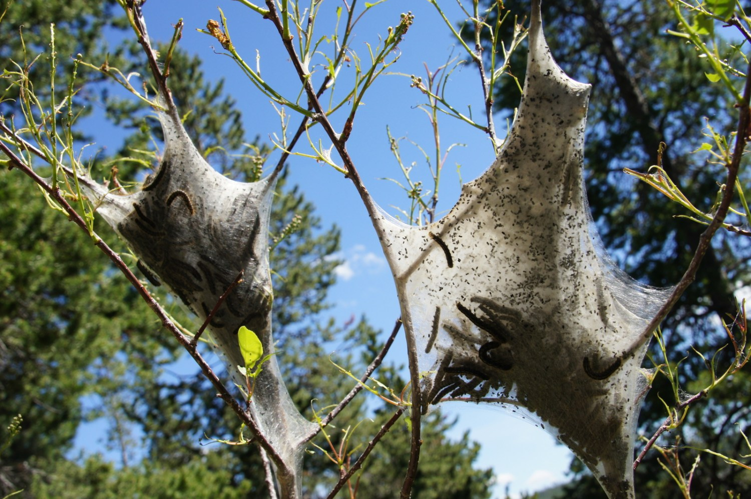 Tent caterpillars building their homes in Yellowstone.