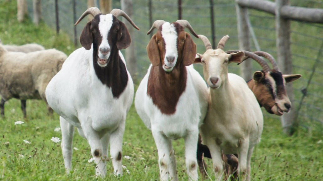 Three inquisitive goats.