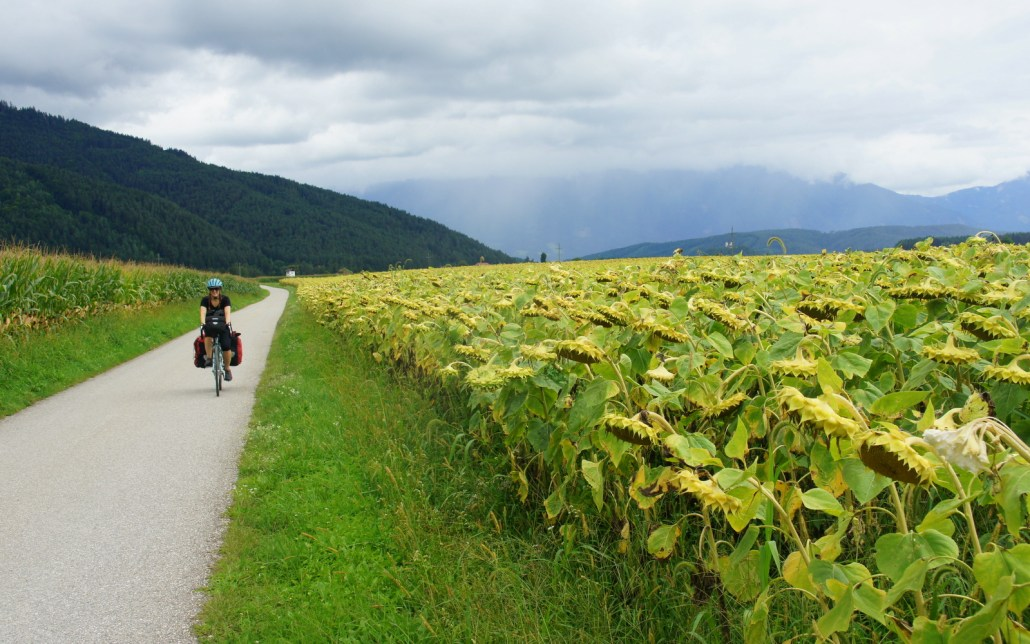 Austrian sunflowers