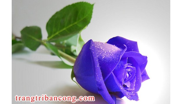 hoa-hong-xanh-va-y-nghia-1