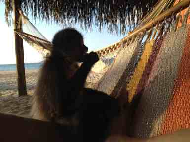 chimi likes to relax on his beach hammock