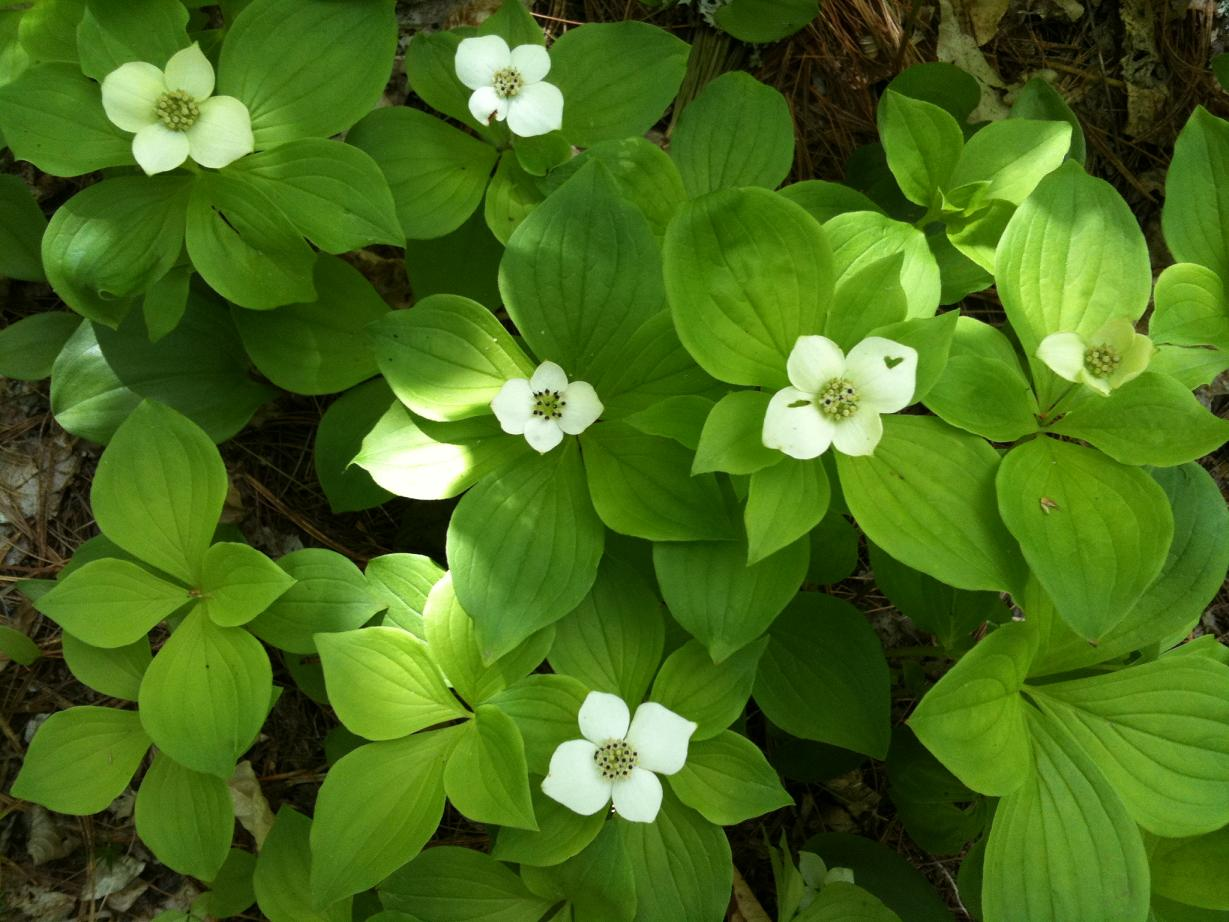 Transformational Gardening Bunchberry Bunchberry Dogwood