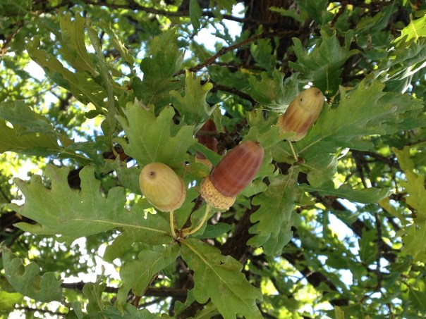 Brown and yellow colored acorns are still in the oak tree, and have green caps attached. There are many green oak leaves and branches in the background.