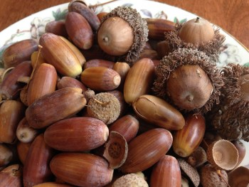 A mound of acorns in a porcelain bowl. There are long and narrow ones, caps, and round and wide ones with a fuzzy cap. Some are yellowish. How to find and forage for food in the city, wild food foraging.