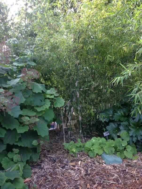 bamboo garden sample, San Diego Botanic Gardens, California