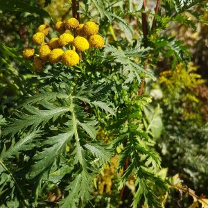 Tansy flower and leaf