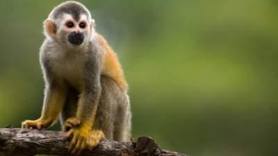 manuel antonio park white faced monkey