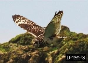 NW001 Skomer Owl