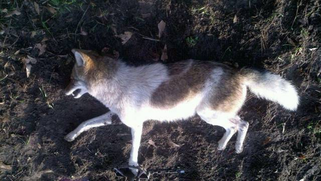 Lion Animal Wallpaper Gallery Piebald Coyote