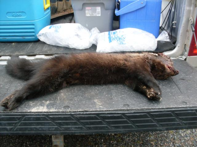 Fisher Cats Sounds