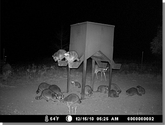 How To Get More Land To Trap Raccoon Trapping In Texas
