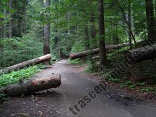 Copaci taiati in padure