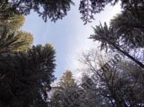 Copaci argintii