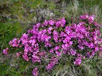 Rhododendron_bujorul de munte