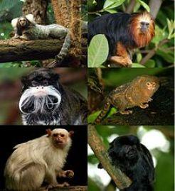 Subfamilia Calitrichinae: Titíes y tamarinos