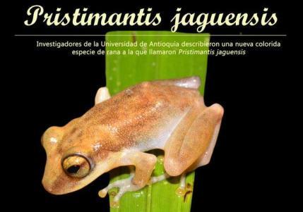 Figura 2 – Pristimantis jaguarensis especie nueva descubierta en la Central Jaguar de Isagén, por investigadores de la Universidad de Antioquia. Tomada de: Rivera-Prieto et al. (2014).