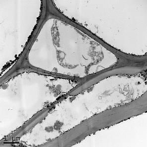 Efectos del plomo en la pared celular del tallo de Brachiaria. fotos: Manuel Peláez