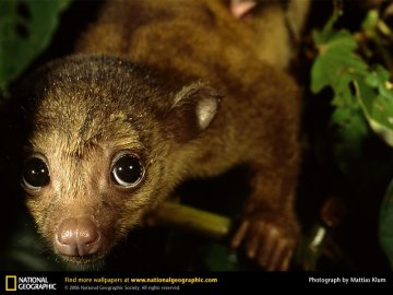 Perro de monte o Kinkajou. Foto: National Geographic