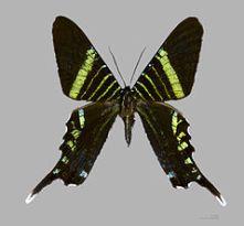Urania fulgens, tomada de: https://en.wikipedia.org/wiki/Urania_fulgens
