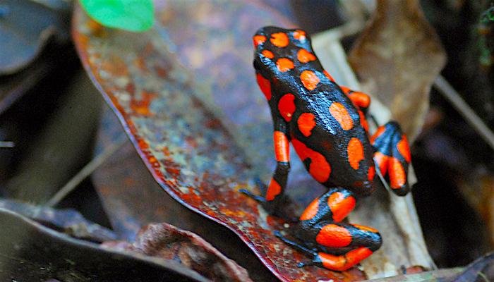 Rana venenosa endémica del municipio de Nuquí en Chocó. Foto: Mario Carvajal