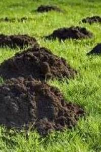 Maulwurf im Rasen