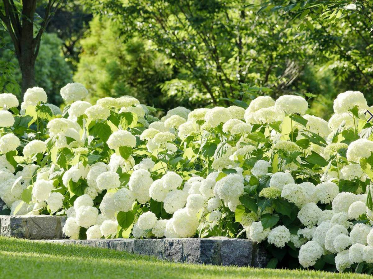 hortensien galabau m hler traumgarten hydrangea. Black Bedroom Furniture Sets. Home Design Ideas