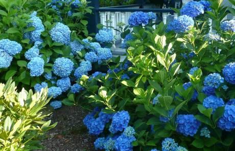 Hortensie macropylla blaumeise