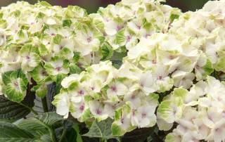 Hydrangea Magical Sorten