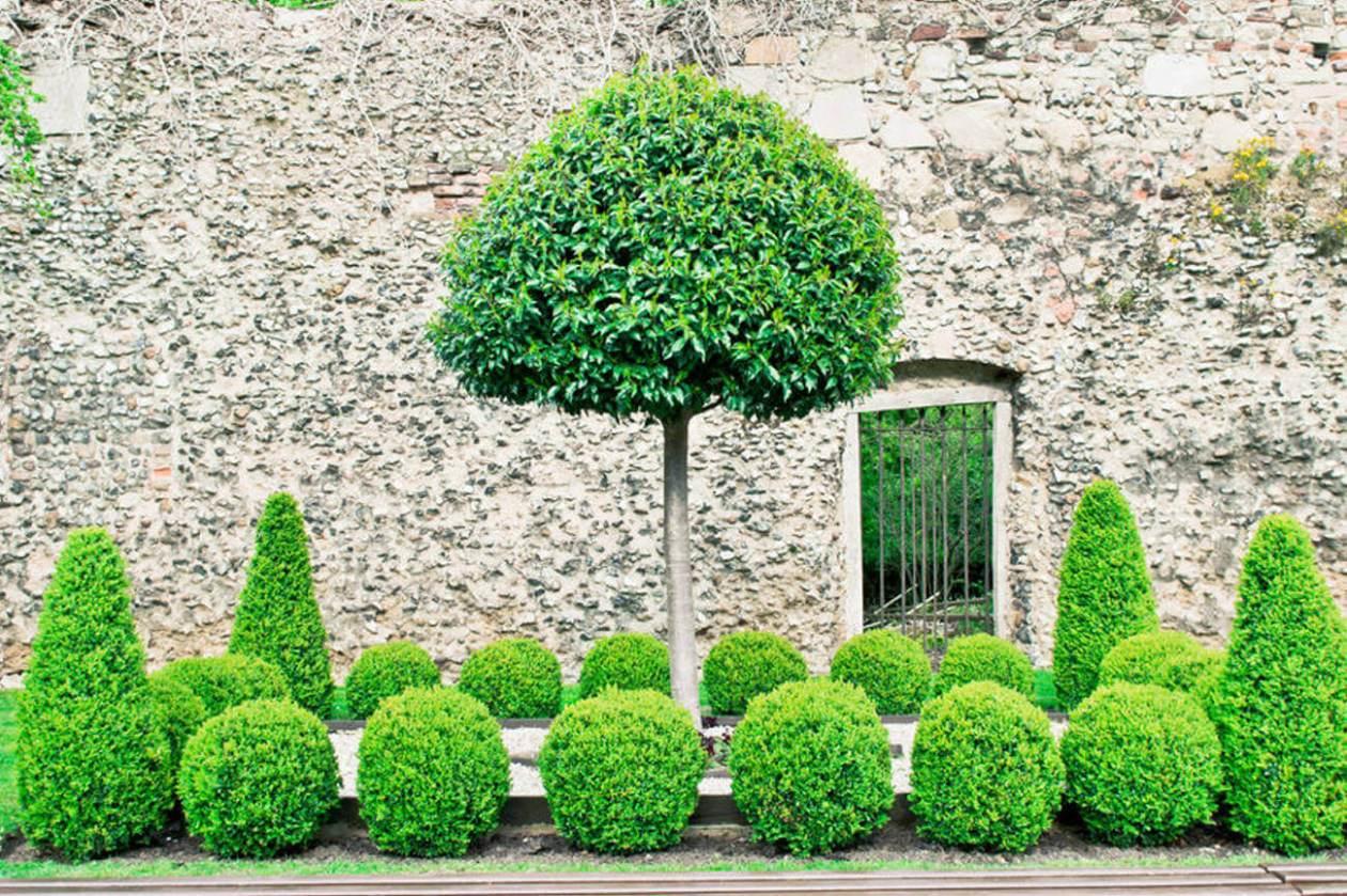 Buchsbaum in Formen