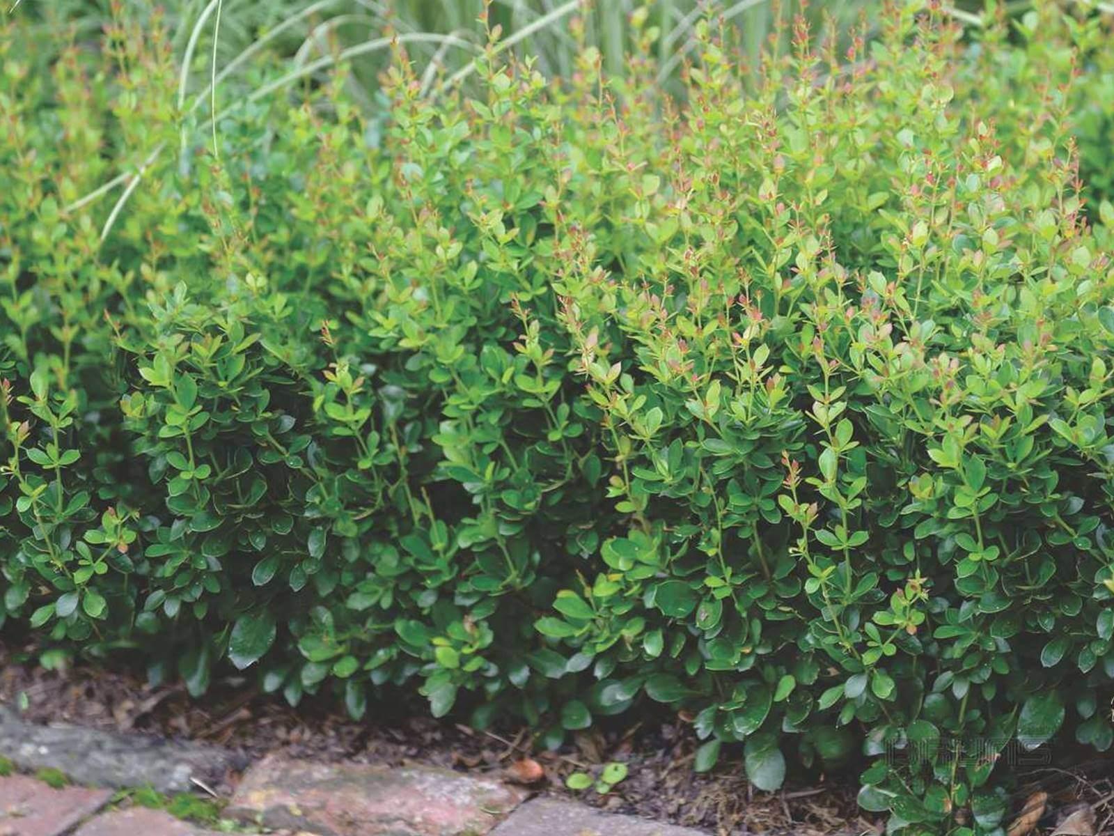 buchsbaumz nsler traumgarten ersatz f r buchsbaum galabau m hler. Black Bedroom Furniture Sets. Home Design Ideas