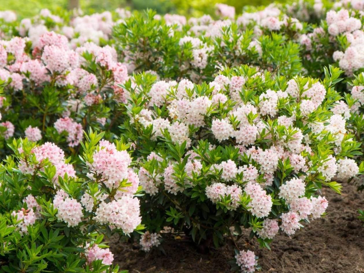 Rhododendron Bloombux als Ersatz für Buchsbaum