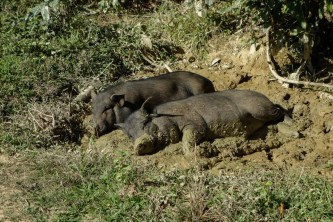 Pigs in a hill tribe village between Kengtung and the Chinese Border