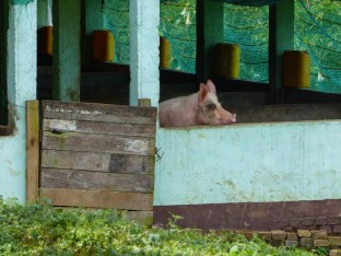 Pig looking out of its stable