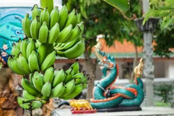 Green bananas in the Grand Palace's garden