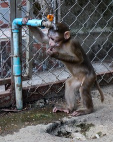 A young monkey getting some water at Wat Tham Pla - The Monkey Temple