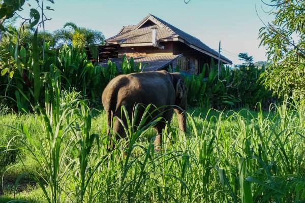 Elephants returning from work