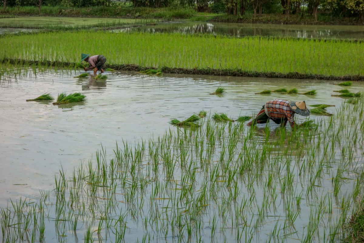 Farmers in the rice fields close to Saddan Cave