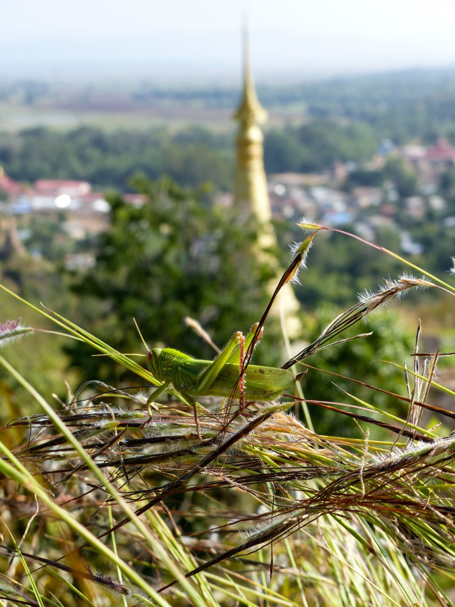 Grasshopper in front of pagoda
