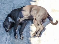 Snoring dog at Win Sein Taw Ya